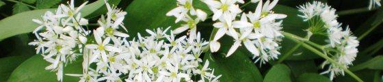 Allium ursinum, Liliaceae - Česnek medvědí, Liliovité