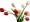 tulipany.jpg
