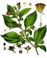 Atropa acuminata / zdroj: http://findmeacure.com/wp-content/uploads/2010/12/Atropa-acuminata-Royle.jpg